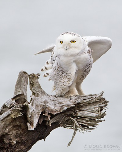 Snowy Owl, photographed by Doug Brown