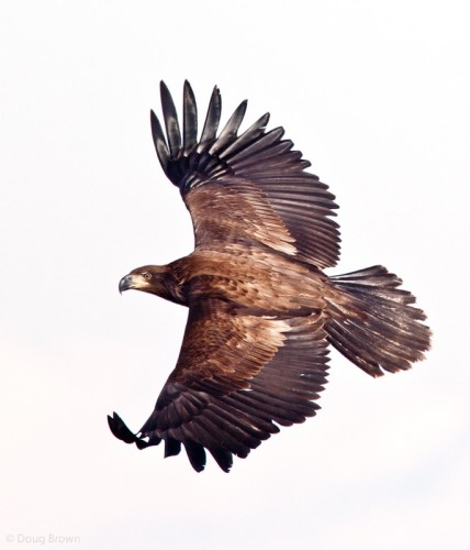 Golden Eagle, image by Doug Brown
