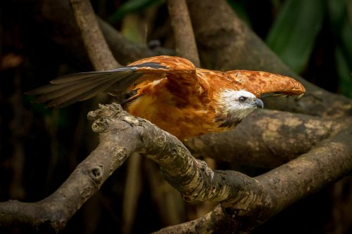 Amazon Black-collared Hawk. Image by Kevin Loughlin