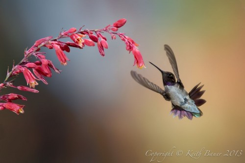 Black-chinned Hummingbird, photograph by Keith Bauer
