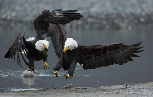 Bald Eagles. Image by Keith Bauer.