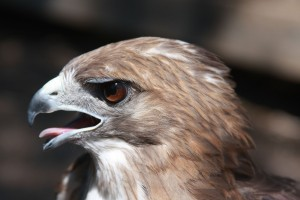 Quemado, our male Red-tailed Hawk