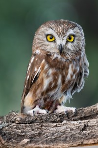 Aspen, our Northern Saw-whet Owl