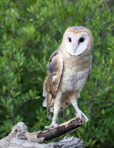Celeste, our Barn Owl