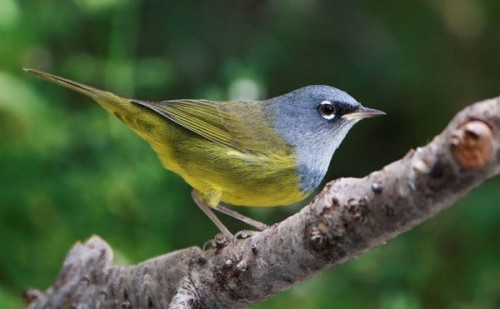 MacGillivray's Warbler, photograph by Keith Bauer
