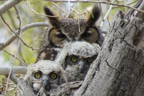 Great Horned Owl family, photo by Christie Wilcox