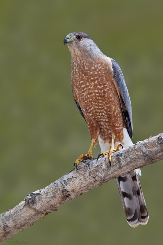 Forest Hawk Hawks Aloft Inc