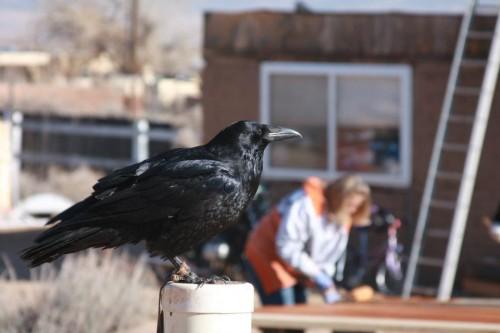Raven supervises mews crew