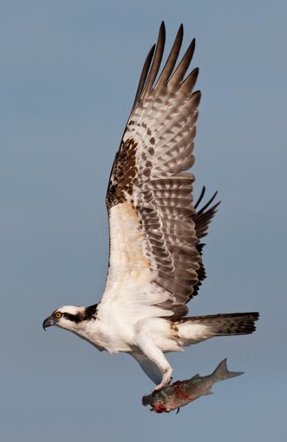 Hawk Talk Ask An Expert Do Hawks Bury Their Prey
