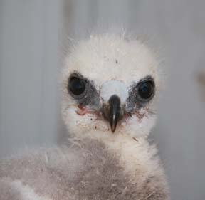 Foster chick from 2010