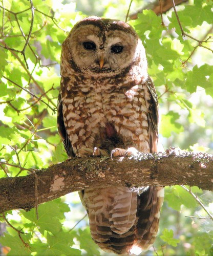 Research paper on the northern spotted owl