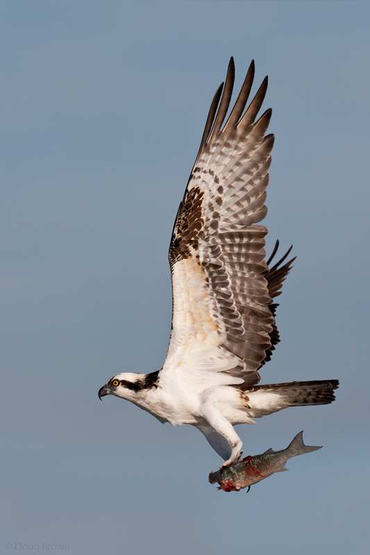 Osprey Nesting Platforms Hawks Aloft Inc