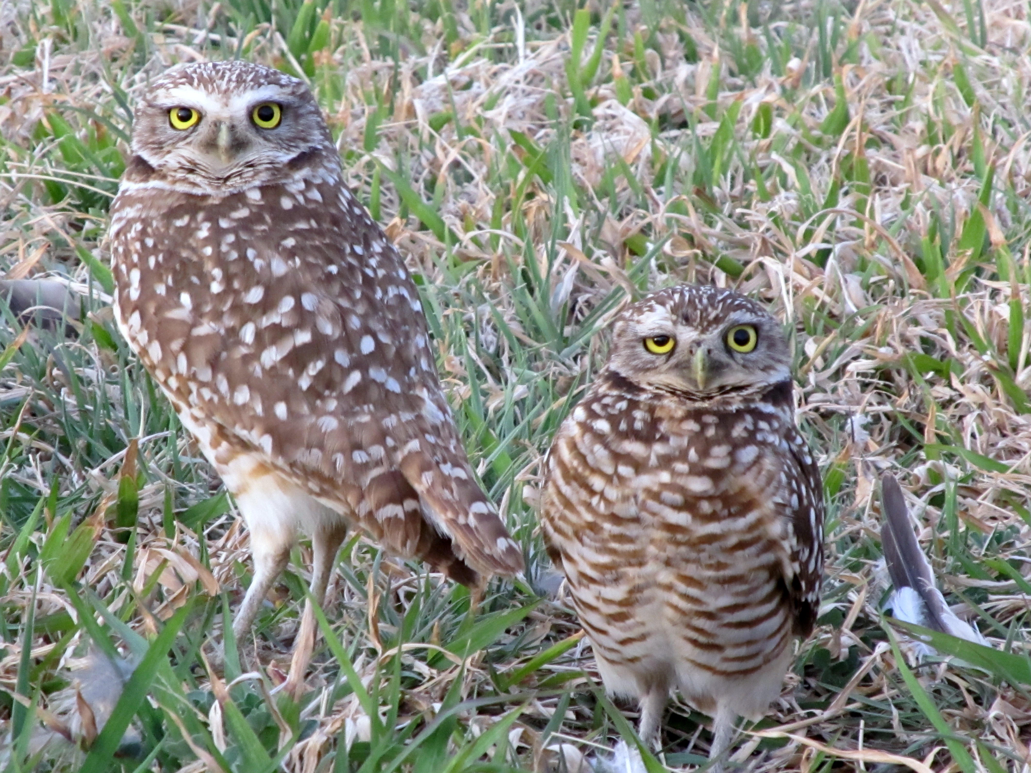 Life Underground Burrowing Owl Hawks Aloft Inc