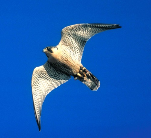 Peregrine Falcons are the fastest animals on the plant: over 3 times faster than a cheetah!