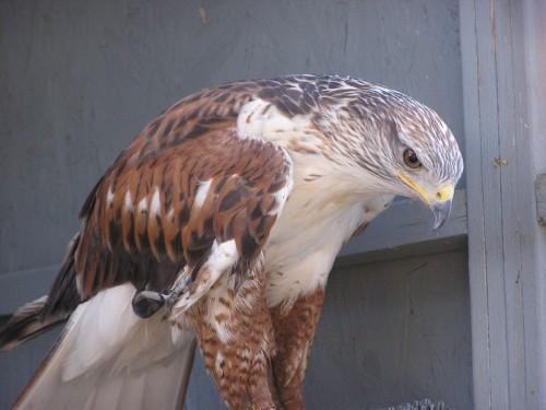 Meet Ferrug the Ferruginous Hawk Hawks Aloft Inc
