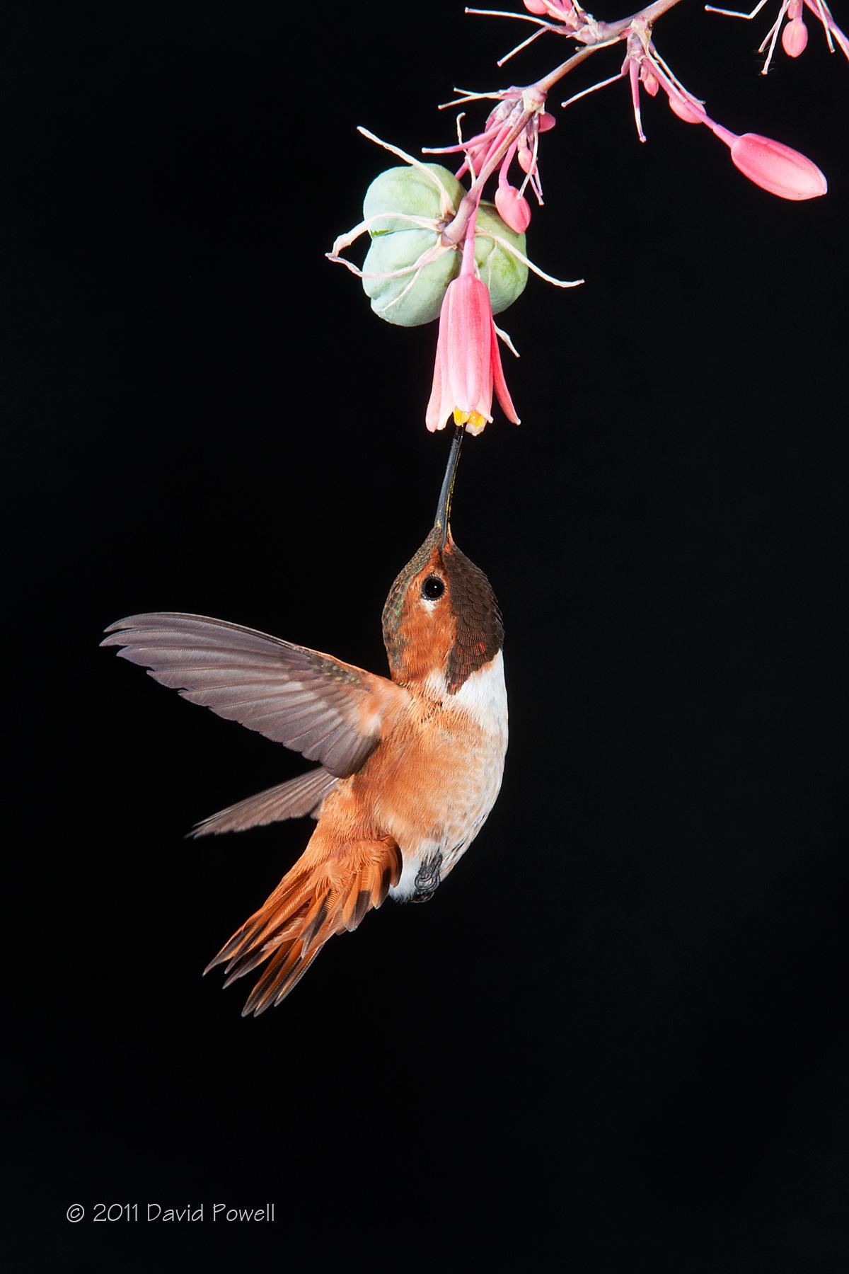 Little Red Devil Rufous Hummingbird Hawks Aloft Inc
