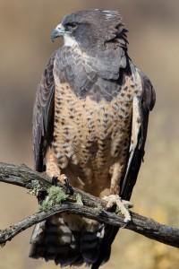 Hudder, a Swainson's Hawk