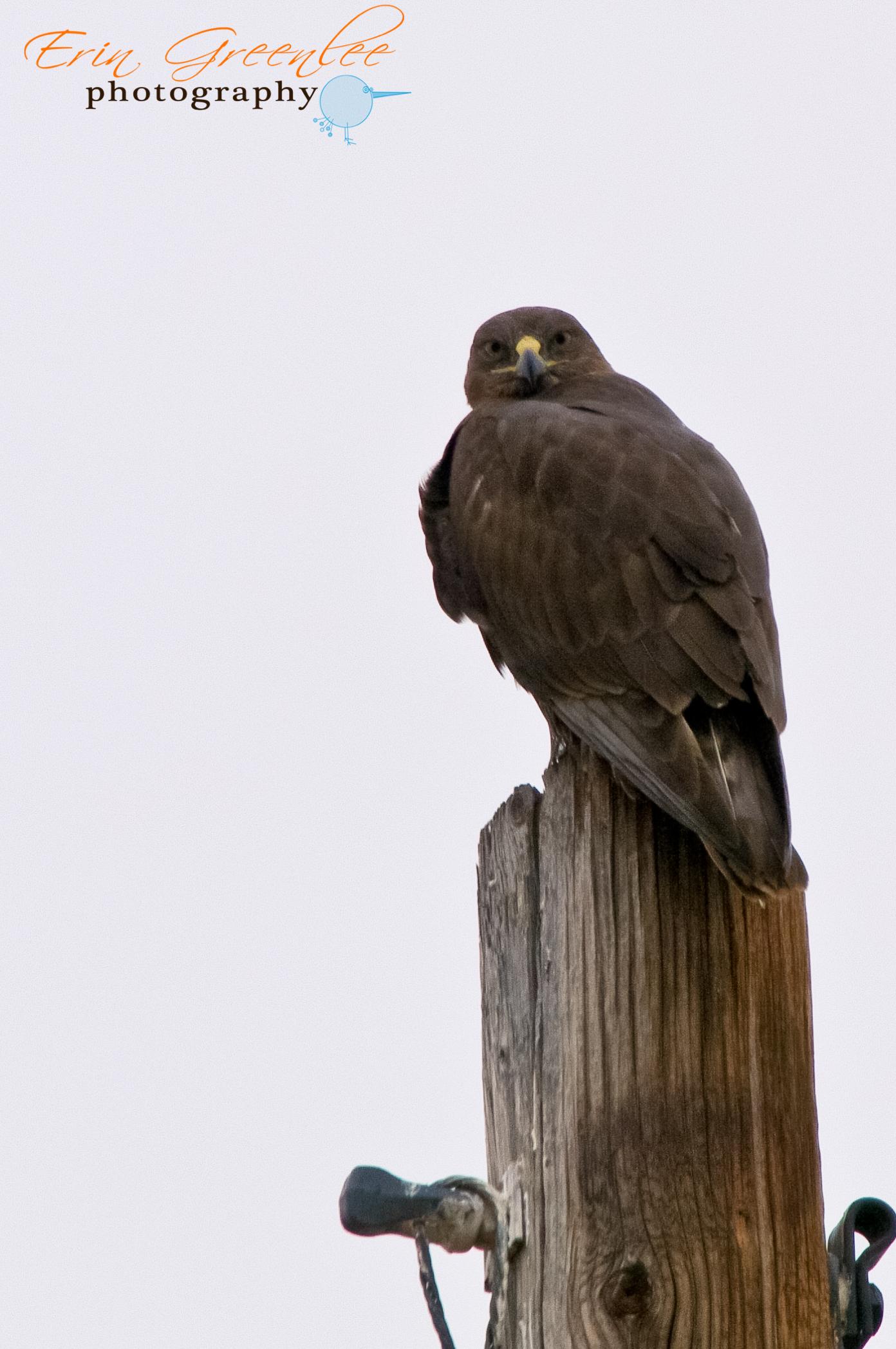 Identifying Dark Morph Birds Hawks Aloft Inc