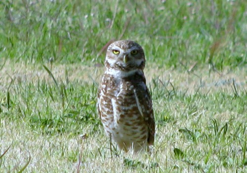 Burrowing Owl med size