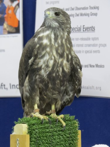 Harlan, our Harlan's Red-tailed Hawk made his debut at this event in 2013.