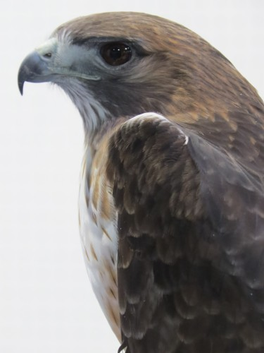 Quemado, our light-morph Red-tailed Hawk was injured when he contacted live electric lines as a juvenile.  He is one of only a handful of birds to survive this type of injury.