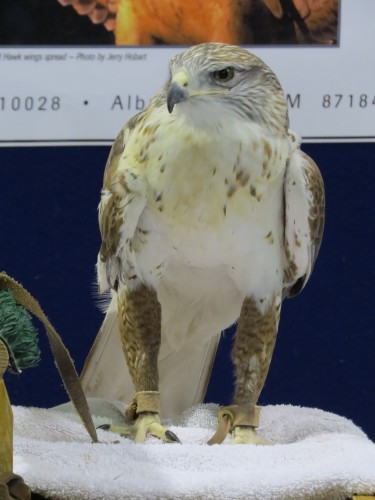Ferrug, our 16 year old male Ferruginous Hawk, is another one of our nervous Nellie types.