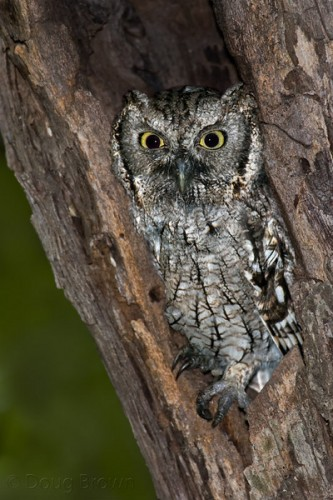 Western Screech-Owl nestled in a cavity.  Photo by Doug Brown.