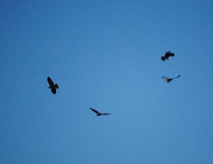 Four Swainson's Hawks soaring.