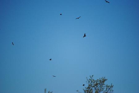 Swainies soaring