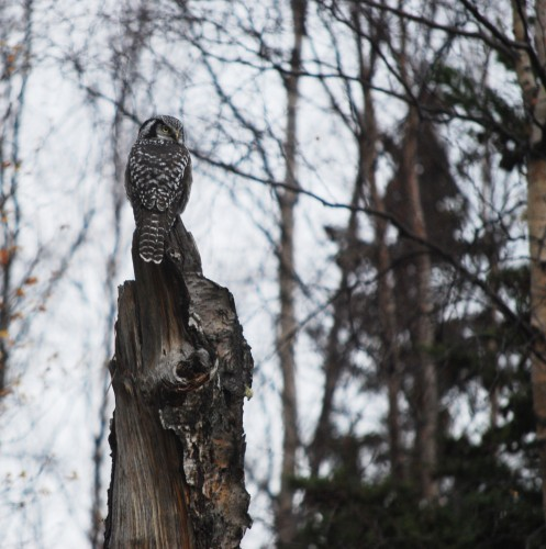 Northern Hawk Owl by Maret