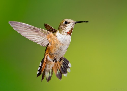 Juvenile Rufous-Hummingbird - Photo by Doug Brown