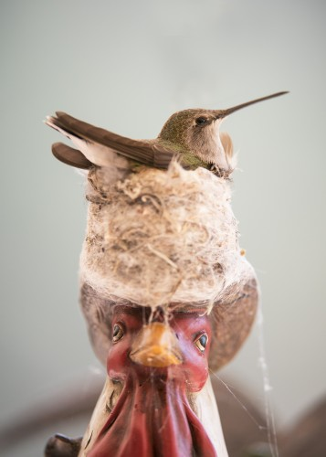 Nesting hummingbird - Photo by David Powell
