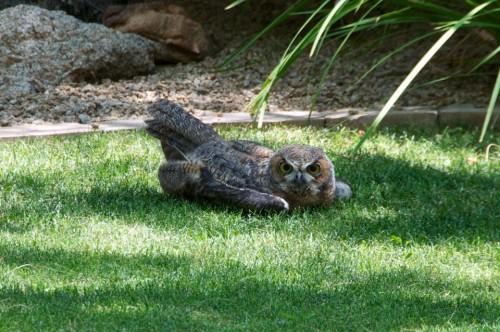 Owlet1