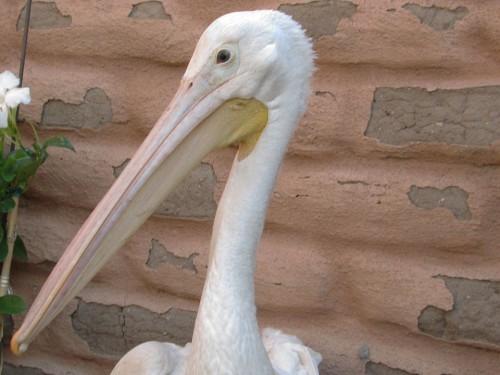 Pelican1-edit2