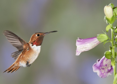 Rufous Male - Photo by David Powell