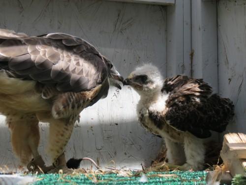 Hud feeding chick  7-10-13