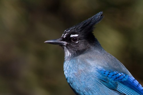 Steller's Jay.  Image by Doug Brown.