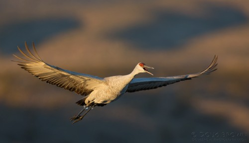 Sandhill Crane in Flight.  Image by Doug Brown.