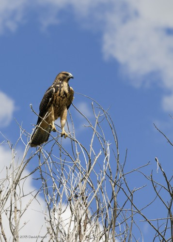 Juvenile Swainson's Hawk, photo by David Powell