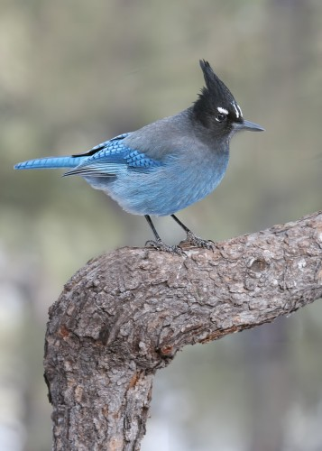 Steller's Jay.  Image by David Powell