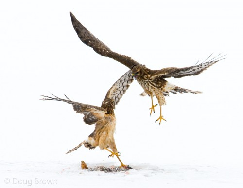 Northern Harriers Fight over a Meal.  Image by Doug Brown.