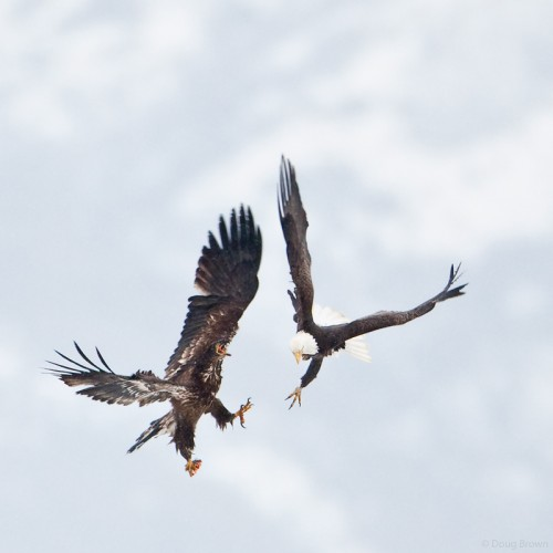 Adult and Juvenile Bald Eagles Squabble.  image by Doug Brown.