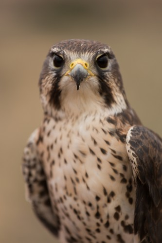Sunny, our Prairie Falcon, is available for your symbolic adoption
