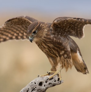 Meet our newest Educational Ambassador, Merlie, a female Merlin. Image by Keith Bauer.