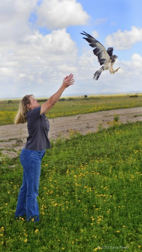 Our volunteer releases one of the juvenile Swainson's Hawk that was fostered by our educational bird, Hudder