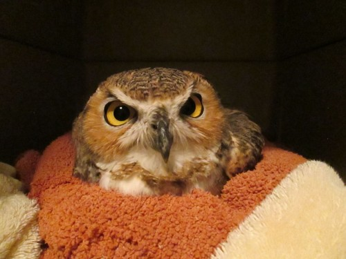 A rescued Great Horned Owl