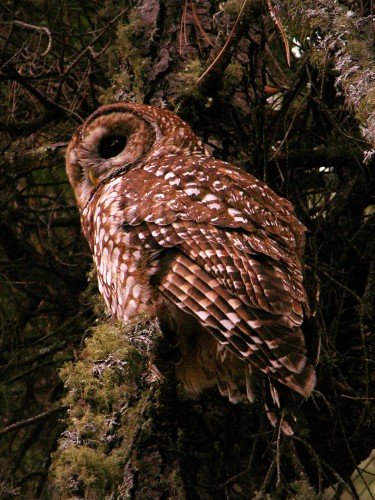Mexican Spotted Owl photographed by Mike Fugagli
