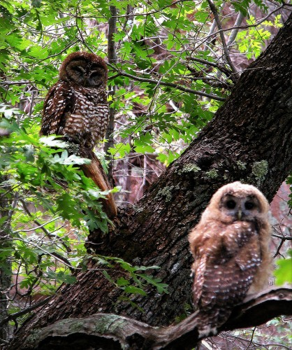 Mother and baby Spotted Owls photographed by Mike Fugagli