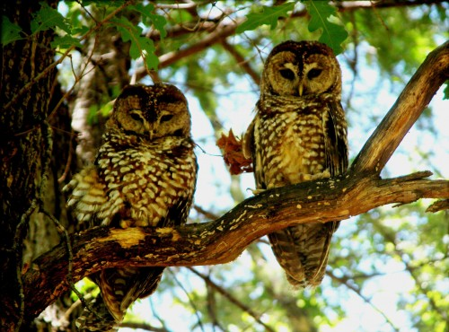 Spotted Owl pair. Photographed by Mike Fugagli