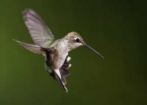 A female Black-chinned Hummingbird. Photo by Doug Brown